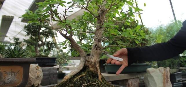 bonsai udruga zen